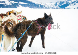 stock-photo-sled-dogs-take-a-break-from-mushing-across-a-snow-plain-219501676